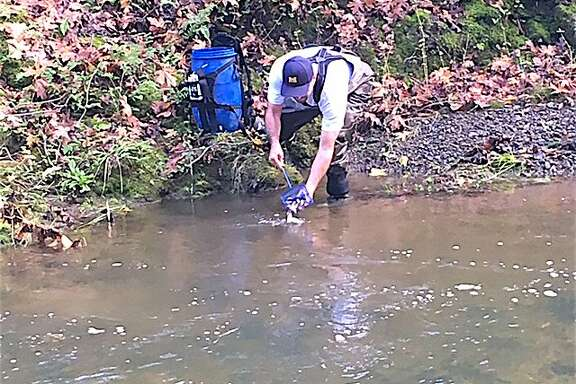 A volunteers releases coho salmon smolt into Porter Creek, a tributary to the Russian River in Sonoma County, to help jump-start the river's coho restoration.