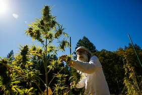 Swami Chaitanya, who co-founded the cannabis brand Swami Select, tends to his cannabis plants on his farm in Humboldt County on Oct. 8, 2017.