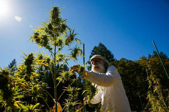 Swami Chaitanya, who co-founded the cannabis brand Swami Select  tends to his cannabis plants on his farm in Humboldt County, Calif., on Sunday, Oct. 8, 2017.