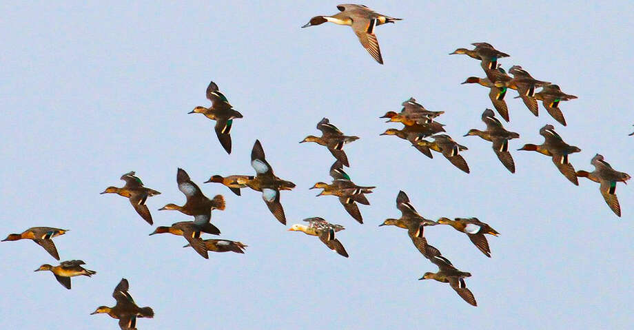 Encountering unusual and unexpected birds such as this leucistic green-winged teal flying among a flock of normally-colored greenwings, blue-winged teal and pintail is a rare, welcomed and memorable treat for waterfowlers. Photo: Shannon Tompkins/Houston Chronicle