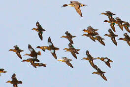 Encountering unusual and unexpected birds such as this leucistic green-winged teal flying among a flock of normally-colored greenwings, blue-winged teal and pintail is a rare, welcomed and memorable treat for waterfowlers.