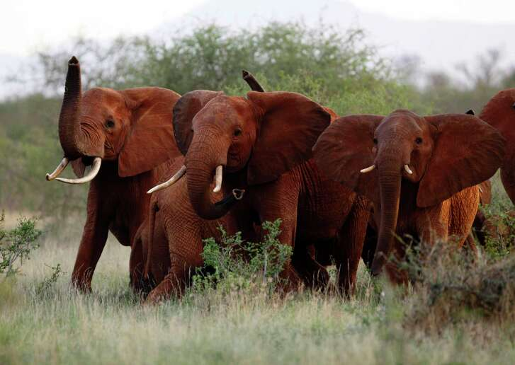 Elephants use their trunks to smell for possible danger in the Tsavo East national park, Kenya. The Trump administration is lifting a federal ban on the importation of body parts from African elephants shot for sport.  (AP Photo/Karel Prinsloo, File)