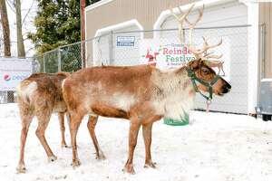 The Greenwich Reindeer Festival returns to Sam Bridge Nursery in Greenwich Friday, Nov. 24, through Saturday, Dec. 23.