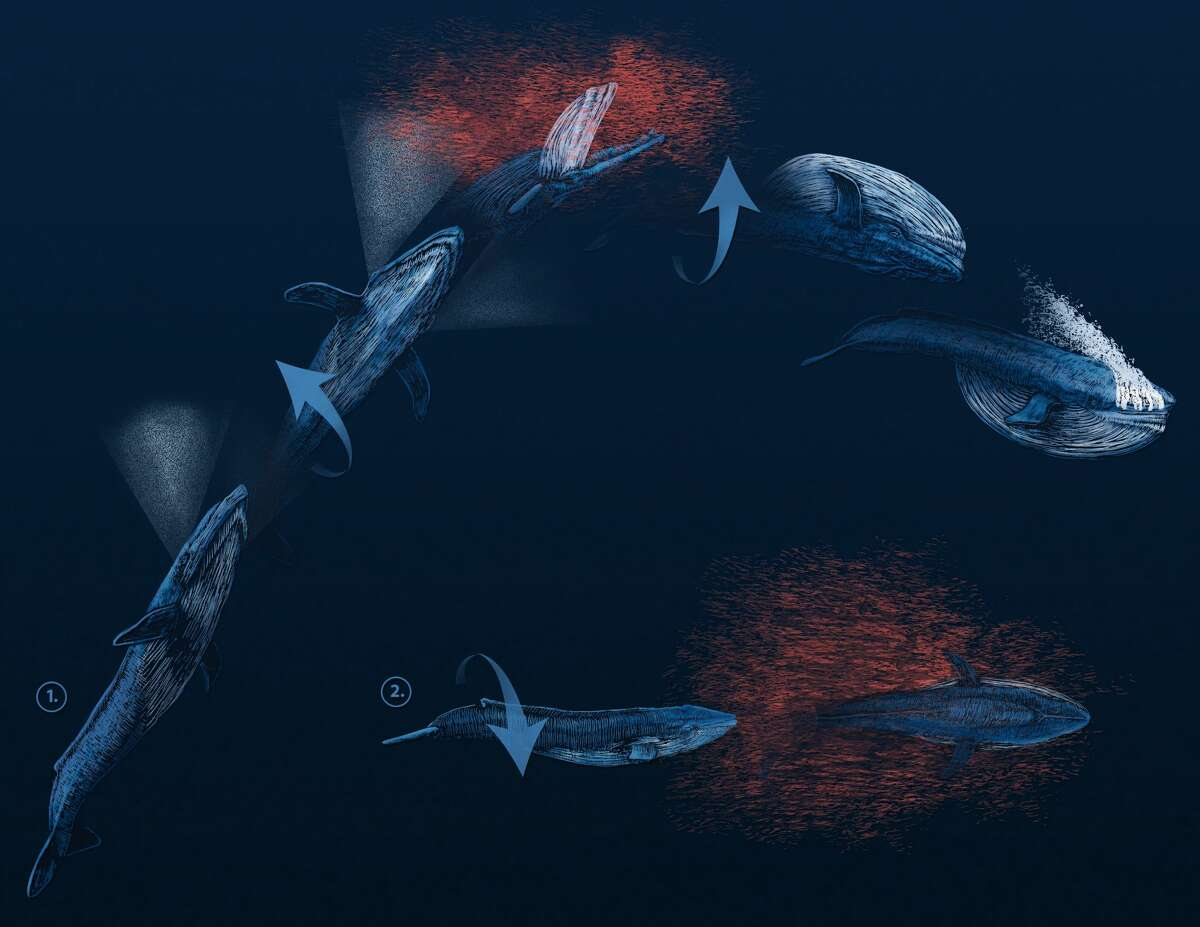 An artist's rendering of the two types of barrel rolls that blue whales employ in order to catch prey. The top graphic demonstrates the whales' behavior at shallow depths; the lower graphic shows how whales feed at lower depths.