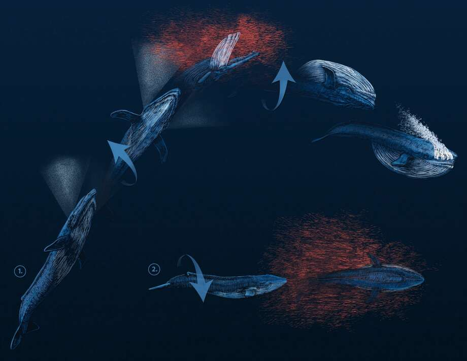 An artist's rendering of the two types of barrel rolls that blue whales employ in order to catch prey. The top graphic demonstrates the whales' behavior at shallow depths; the lower graphic shows how whales feed at lower depths. Photo: Courtesy Ari Friedlaender