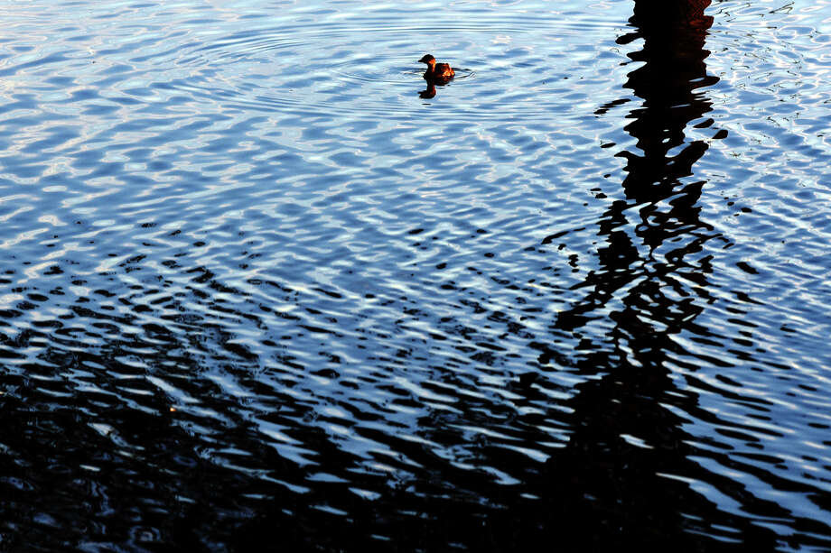 A diving duck fishes in the pond at Beal Park near sunset on Friday. National Weather Service is predicting this month will be one of the warmest Novembers on record. Photo: James Durbin/Reporter-Telergam / © 2016 Midland Reporter Telegram. All Rights Reserved.