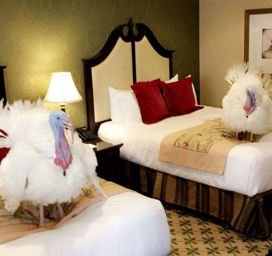 Two turkeys to be pardoned by President Donald Trump are shown in a Washington hotel on Sunday. Trump will pardon them Tuesday. Photo: Hannah MacInnis Via AP