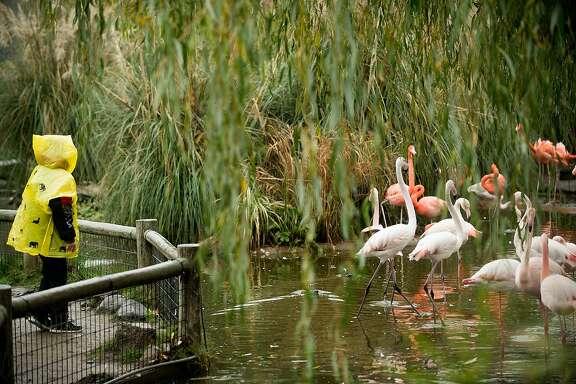 A Safari West visitor watches flamingos on Monday, Nov. 20, 2017, in Santa Rosa, Calif.