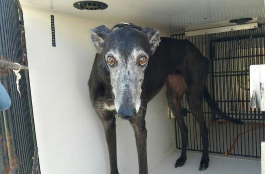 On Sunday, this female greyhound was removed from a home in an unincorporated part of Harris County after authorities found her owner dead inside the home. Kerry McKeel, a spokeswoman for the Harris County Veterinary Public Health/Harris County Animal Shelter, said the dog was in good health. Photo: Harris County Animal Shelter