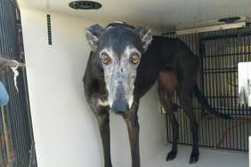 On Sunday, this female greyhound was removed from a home in an unincorporated part of Harris County after authorities found her owner dead inside the home. Kerry McKeel, a spokeswoman for the Harris County Veterinary Public Health/Harris County Animal Shelter, said the dog was in good health.