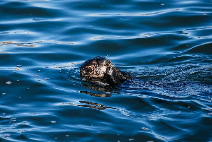 A sea otter eats mussels at the Elkhorn Slough in Moss Landing, Calif. Friday, November 17, 2017.