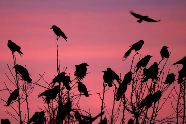 Crows Picking Over Prairie Burn On >> Just Like Millennials Raven Crow Populations Have Exploded In The