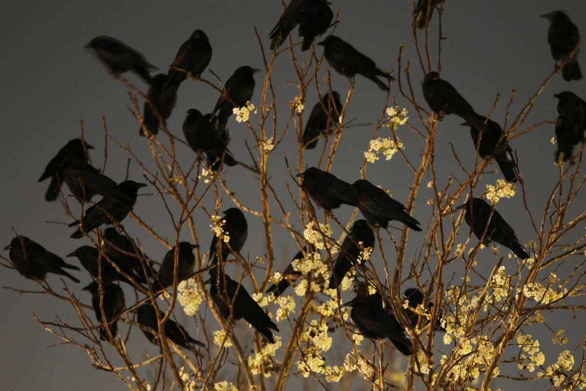 DELANO, CA - FEBRUARY 13: Crows gather in large nightly communal roosts after spending the day feeding in surrounding farms on February 13, 2014 in Delano, California.