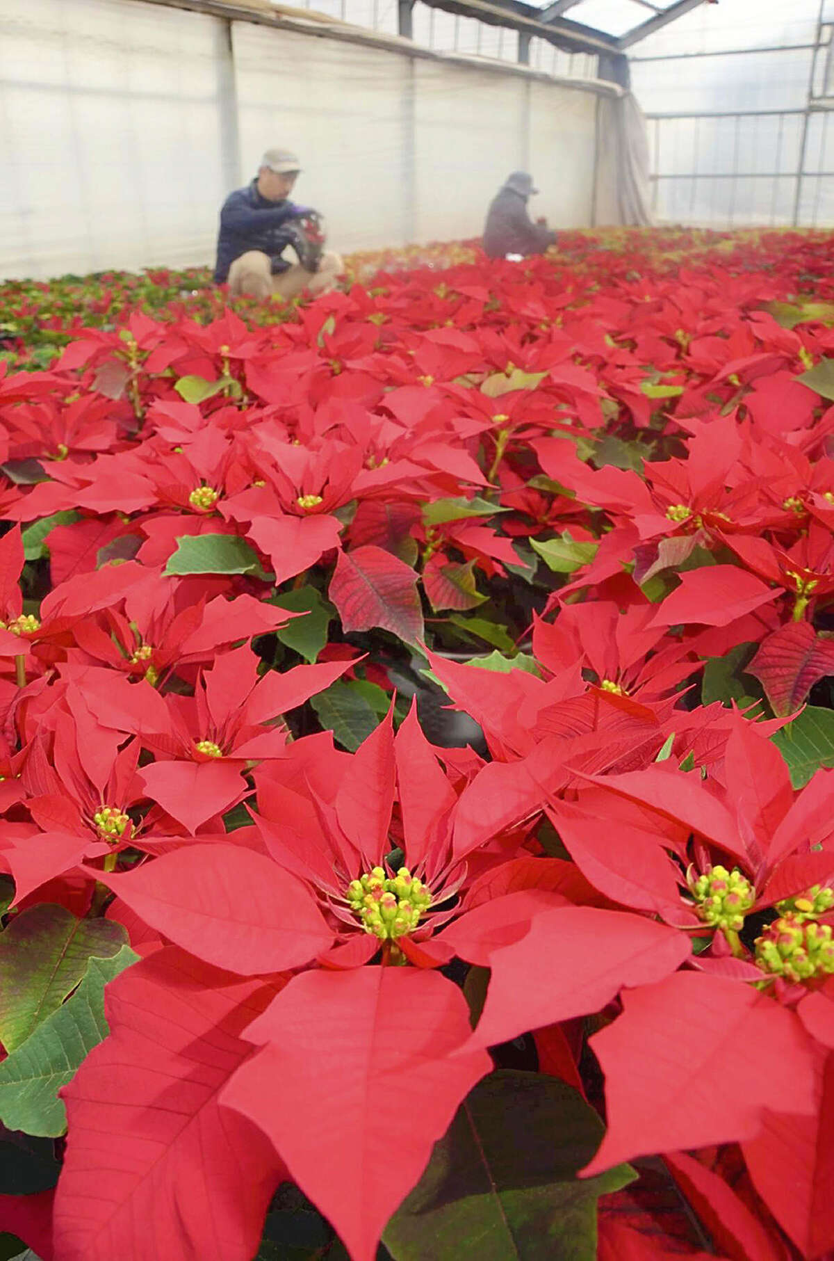 Poinsettias fill a greenhouse at Kawate Noen farm in Edogawa Ward, Tokyo, on November 14, 2017. The farm has started shipments for the Christmas season and expects the peak to be around November 20. About 5,000 pots are expected to be shipped to the Tokyo metropolitan area. MUST CREDIT: Japan News-Yomiuri