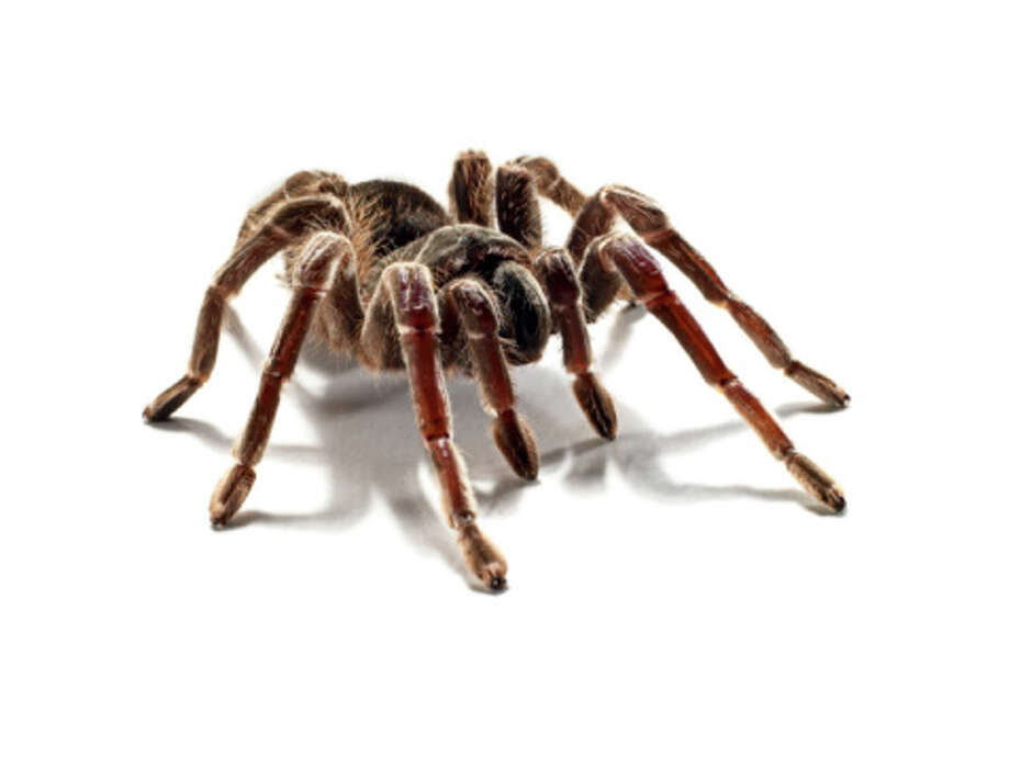The spiders of TexasTexas is home to all different breeds of spiders. From the completely harmless to venomous, scroll ahead to see which spiders in Texas you should be aware of. Photo: Michael Blann/Getty Images