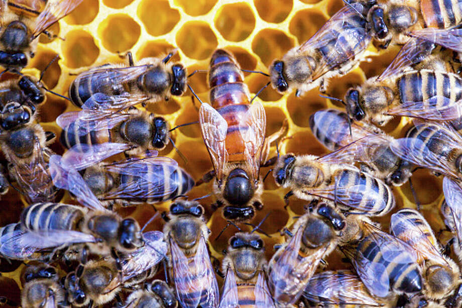 HoneybeesBees must be shipped via ground transportation, with the exception of queen bees. A queen bee may be mailed via air transportation, and she can bring an entourage of up to eight attendant honeybees. Photo: WIN-Initiative/Getty Images/WIN-Initiative RM