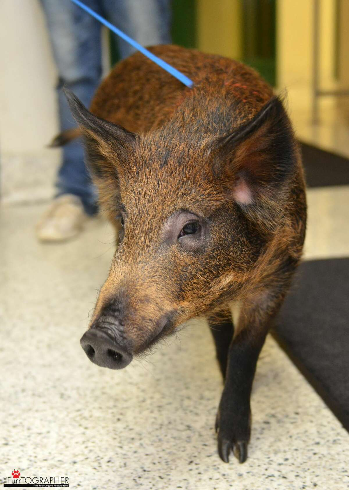 Spirit, the wild boar kept as a pet by San Francisco residents, has found a home at Windswept Ranch Rescue in Tehachapi, Calif.
