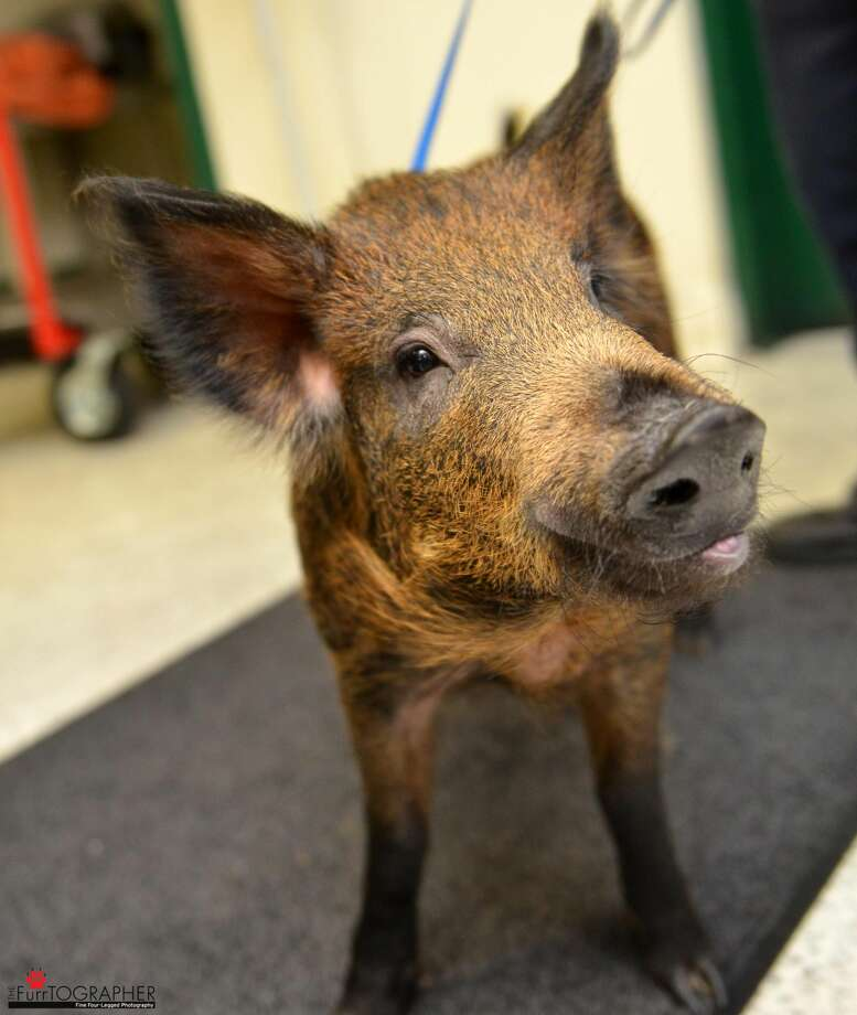 Spirit, the wild boar kept as a pet by San Francisco residents, has found a home at Windswept Ranch Rescue in Tehachapi, Calif. Photo: Josh Norem, Josh Norem/Courtesy Of SF Animal Care & Control
