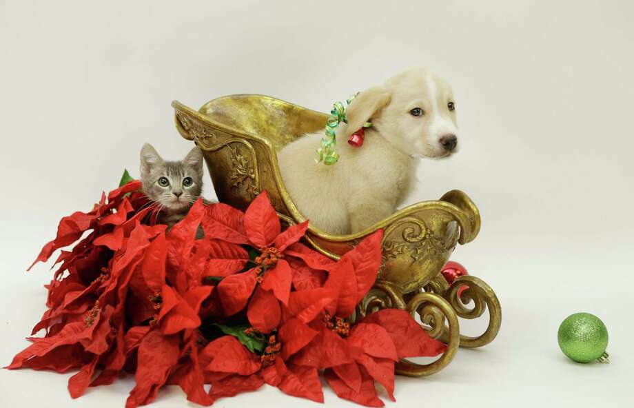 A kitten and puppy are shown at the Houston SPCA, 900 Portway, Monday, Nov. 20, 2017, in Houston. The 29th annual Houston SPCA and Neiman Marcus Holiday Windows of Life, a showcase filled with adoptable puppies, kittens, cats and small dogs will be unveiled in the storefront window Friday, Nov. 24. ( Melissa Phillip / Houston Chronicle ) Photo: Melissa Phillip, Houston Chronicle / © 2017 Houston Chronicle