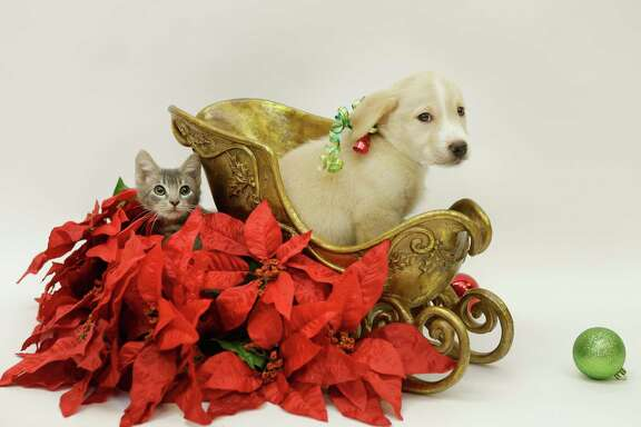 A kitten and puppy are shown at the Houston SPCA, 900 Portway, Monday, Nov. 20, 2017, in Houston. The 29th annual Houston SPCA and Neiman Marcus Holiday Windows of Life, a showcase filled with adoptable puppies, kittens, cats and small dogs will be unveiled in the storefront window Friday, Nov. 24. ( Melissa Phillip / Houston Chronicle )