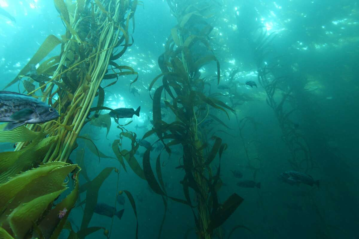 Fish swim through a kelp forest.