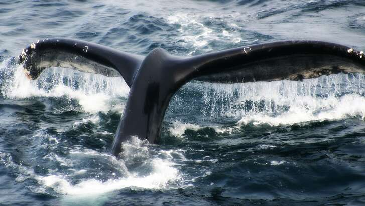 A humpback whale dives after surfacing.