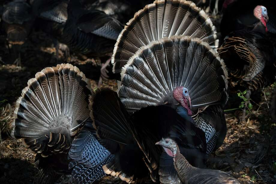 Above: Wild turkeys roam Lafayette Reservoir. They're also showing up in Martinez, Concord and else where in the East Bay and making a mess of people's yards. Below: Turkeys block a car at the reservoir. Photo: Paul Kuroda, Special To The Chronicle