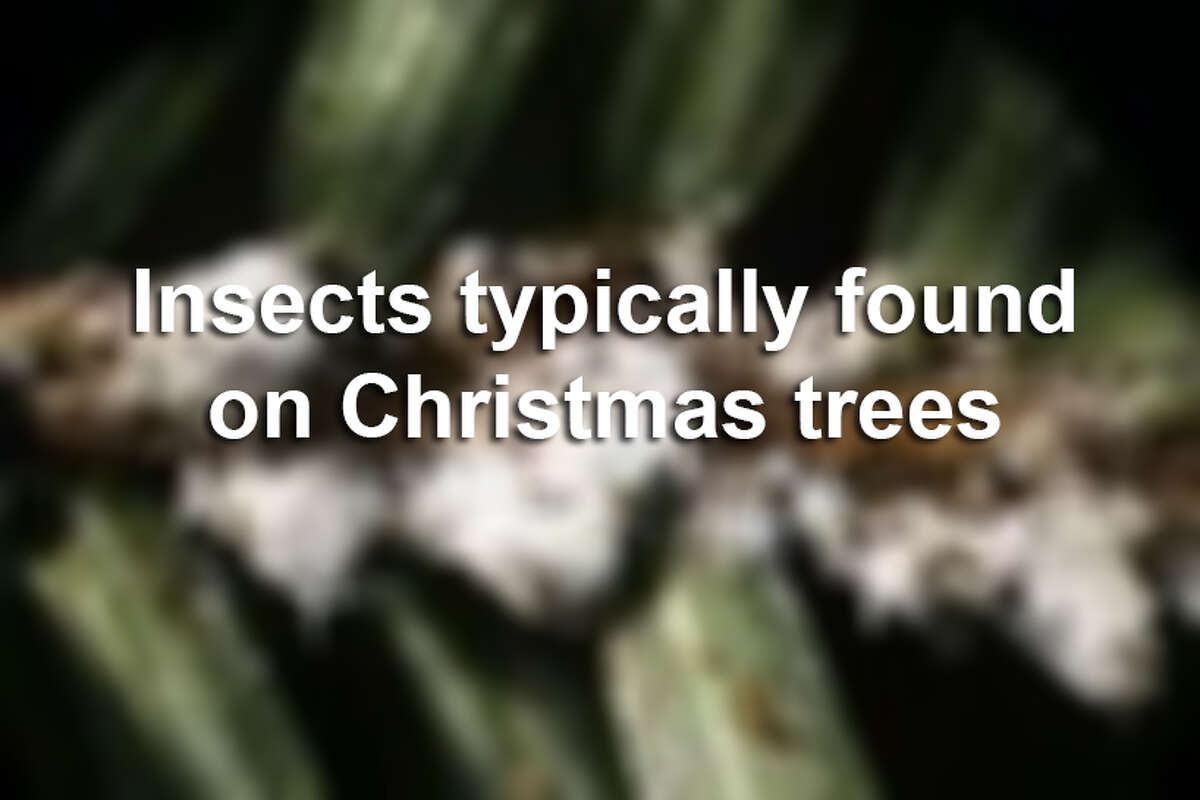 Insects you will likely find on your live Christmas tree, according to the Pennsylvania Department of Agriculture, Bureau of Plant Industry