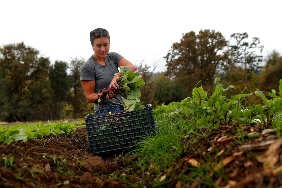 Laura Reynolds holds beets she just pulled from the ground as she works on harvesting her produce at Gillyflower Farm in Capay (Yolo County). Photo: Carlos Avila Gonzalez, The Chronicle