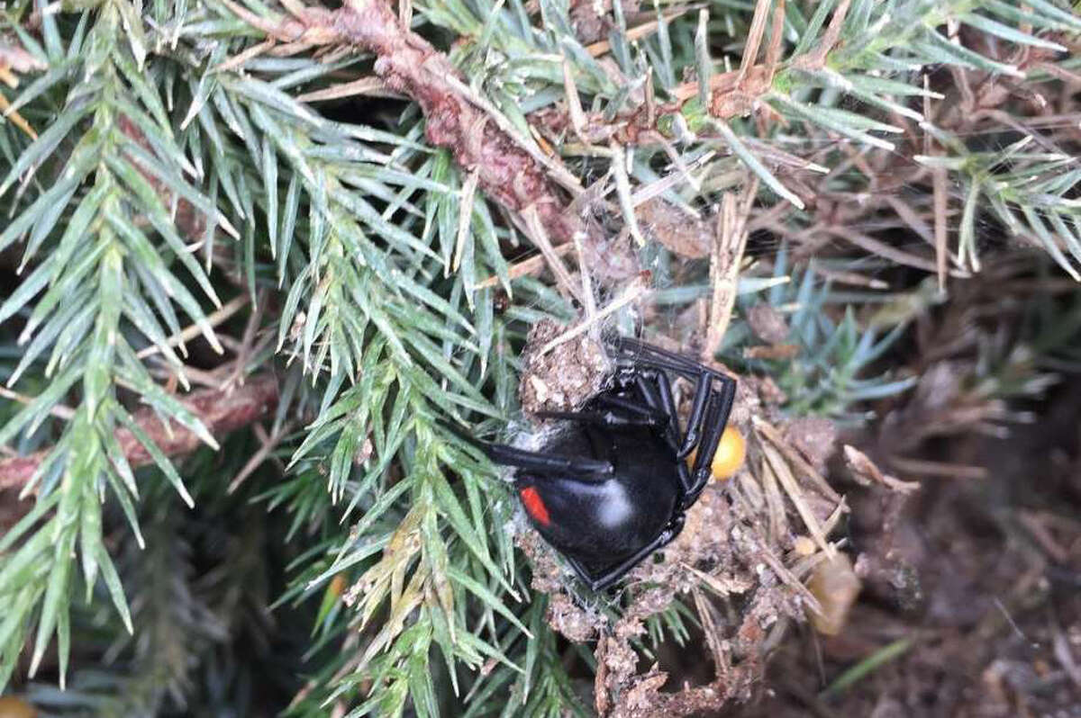 A San Antonio Express-News reporter spotted a black widow spider while shopping at an H-E-B on the city's North Side Nov. 21, 2017.