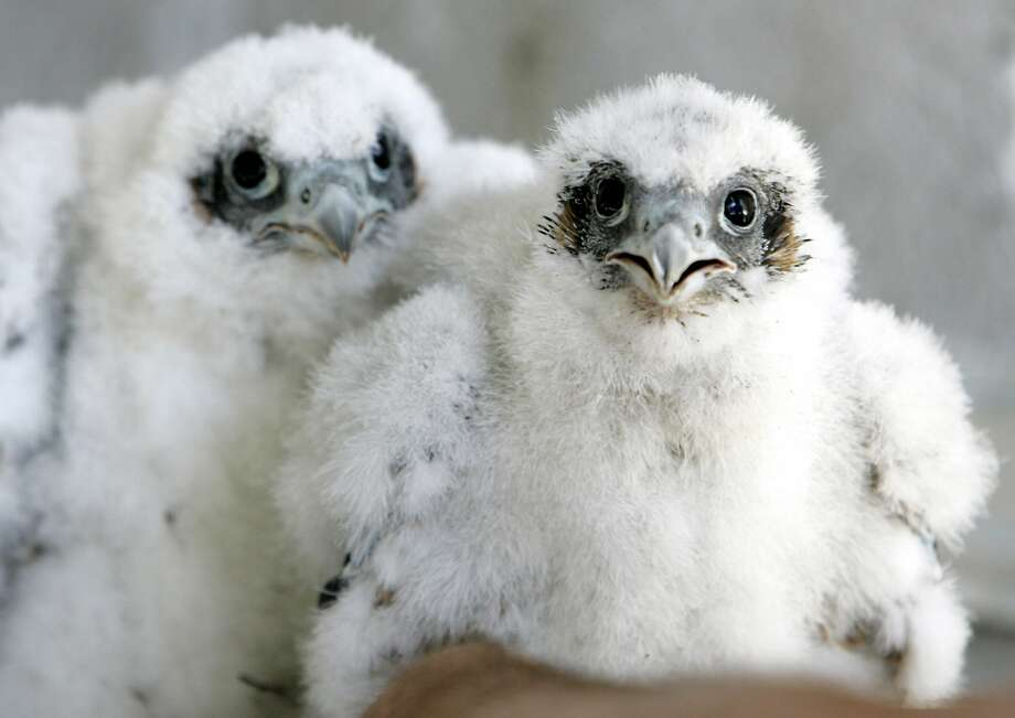 A pair of young peregrine falcons in their nest on the 33rd floor of the PG&E building in San Francisco in May 2009. A new study finds some species of California birds are nesting earlier in an attempt to adapt to global warming. Photo: Eric Risberg, Associated Press