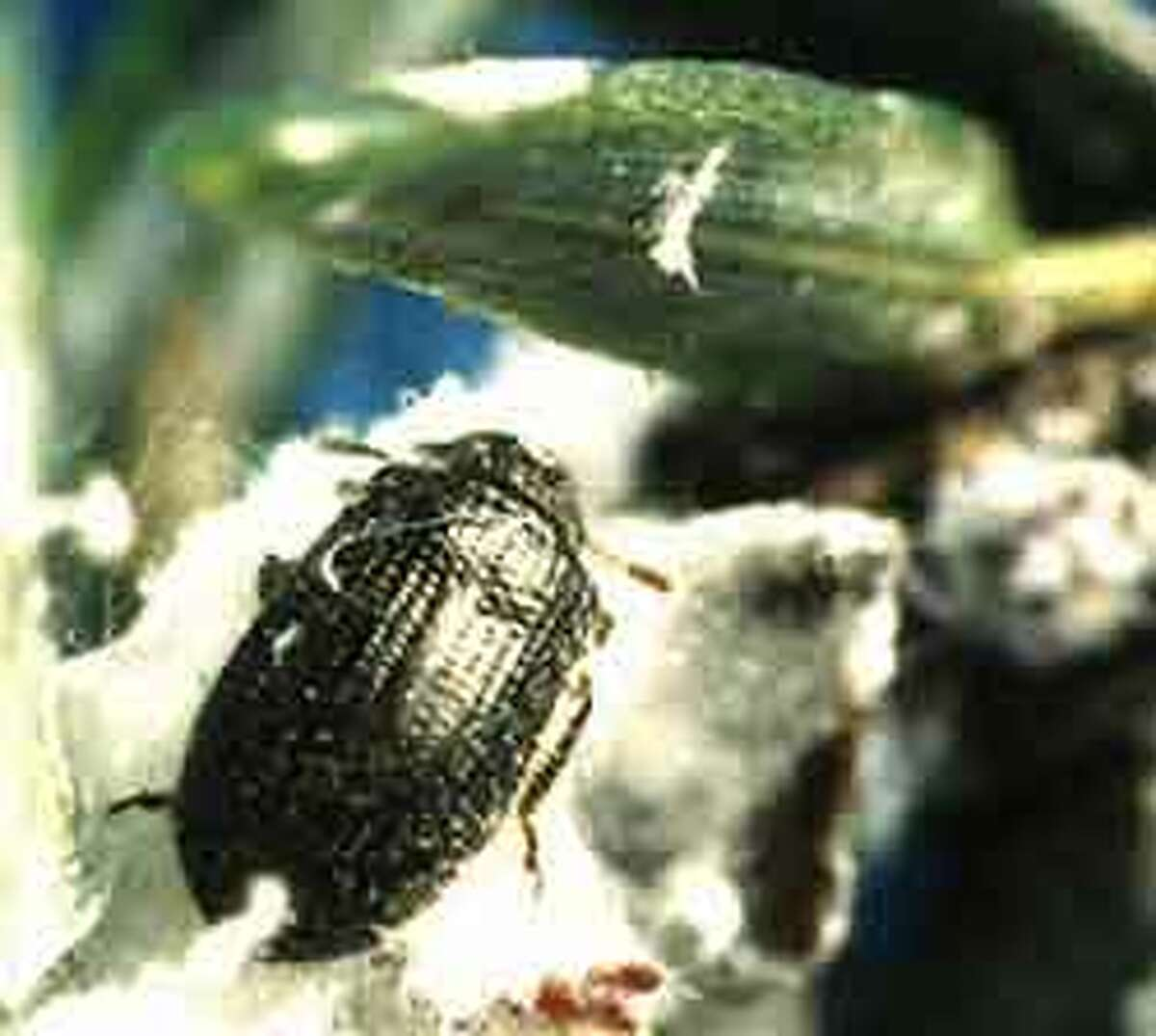 In a bid to protect the state's hemlock trees from a voracious invasive pest, researchers will be nurturing and releasing a predatory beetle, Laricobius Nigrinus.