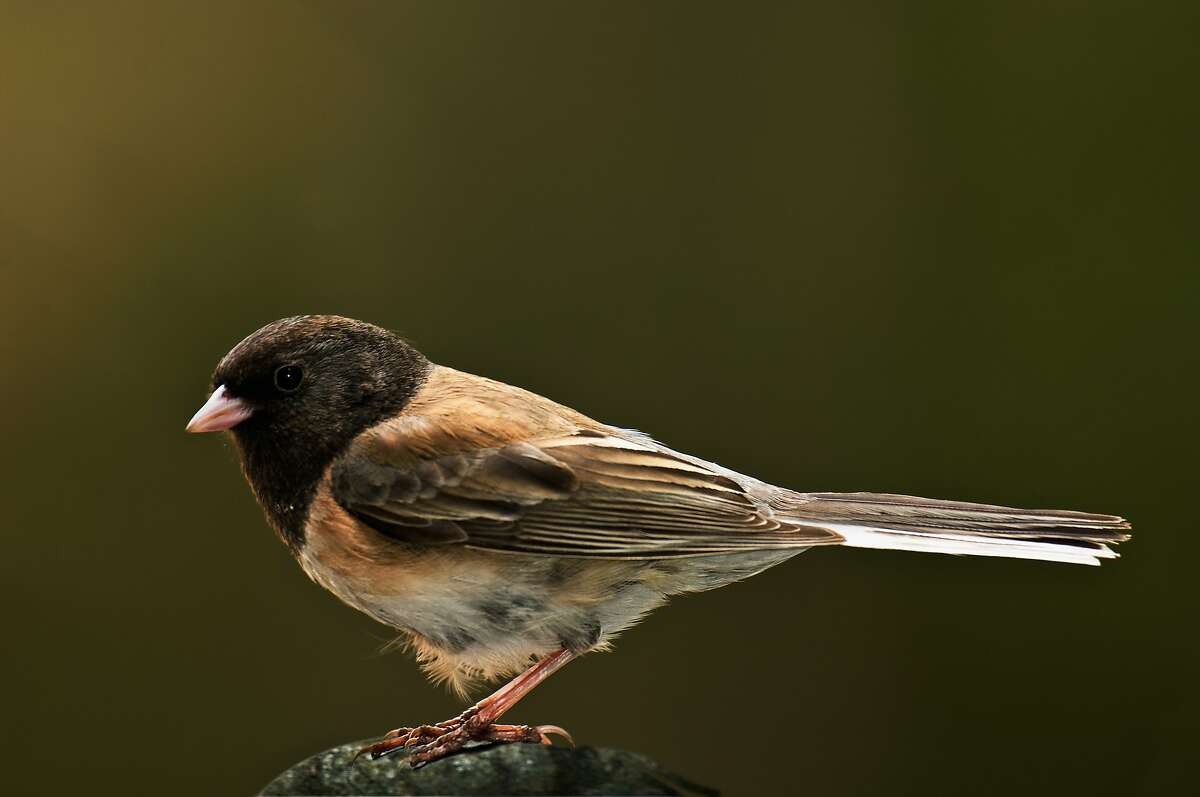 Oregon Junco (Junco hyemalis) is a year round resident of the Sierra Foothills of Northern California.