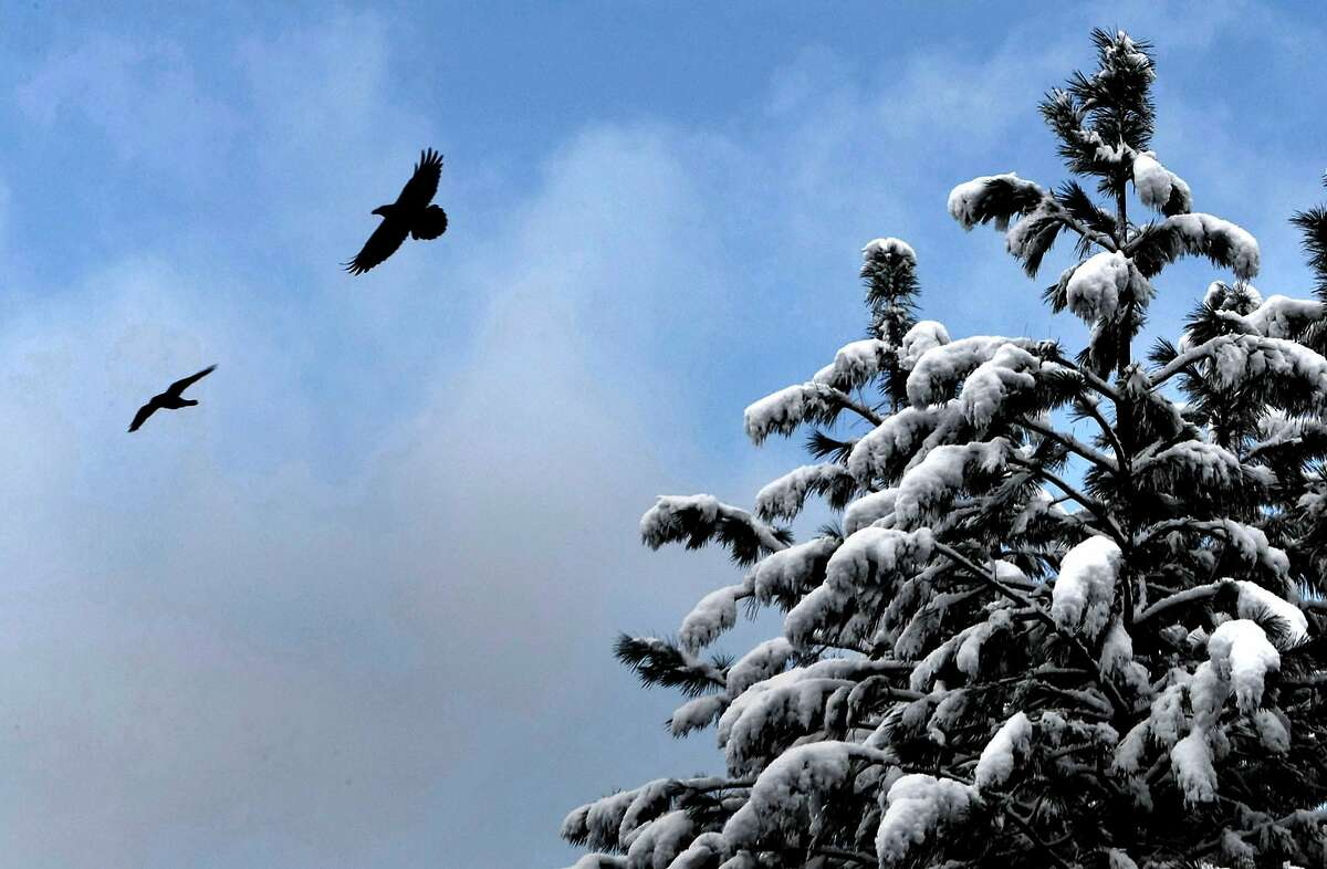 A pair of ravens take wing near Dutch Flat in the Sierra foothills.