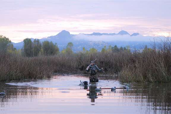 Yancey Forest-Knowles, a career educator and former director of the California Waterfowl Association, walks through the marsh with his black lab, Mick, in the Butte Sink wetlands at the foot of the Sutter Buttes in the Sacramento Valley