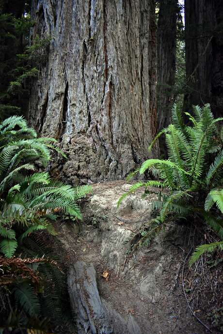 """Foot traffic along one of the """"social trails"""" has damaged giant redwoods in the park. Photo: Joanna Di Tommaso"""