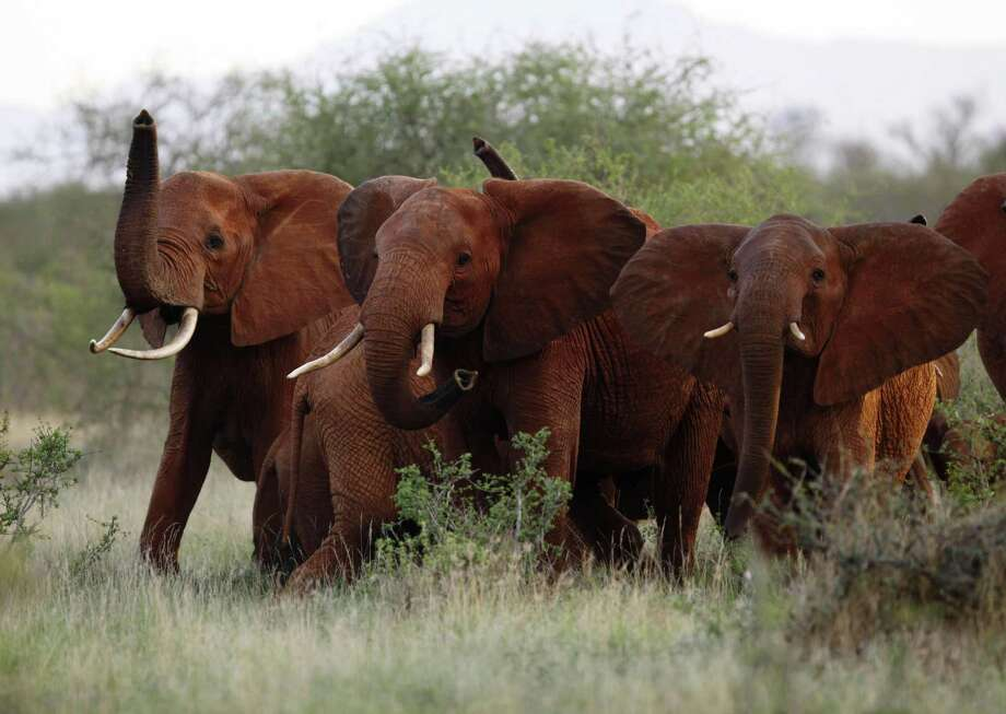 Elephants use their trunks to smell for possible danger in the Tsavo East national park, Kenya in 2010. Donald Trump has signaled his opposition to lifting a ban on importation of hunting trophies into the country. Photo: Karel Prinsloo /Associated Press / AP2010