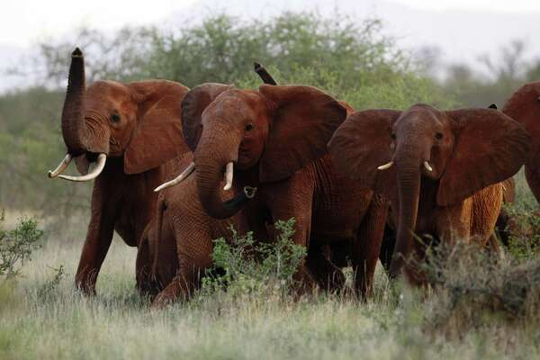 Elephants use their trunks to smell for possible danger in the Tsavo East national park, Kenya in 2010. Donald Trump has signaled his opposition to lifting a ban on importation of hunting trophies into the country.