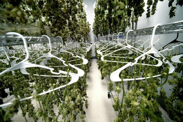 The former owner of an Eatern Connecticut medical-marijuana grow facility faces charges of taking marijuana from a curing room, similar to this photo, and dispensing it illegally to another employee.