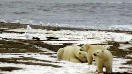 A polar bear and her two cubs are seen on the Beaufort Sea coast within the 1002 Area of the Arctic National Wildlife Refuge in this handout photo provided by the U.S. Fish and Wildlife Service.