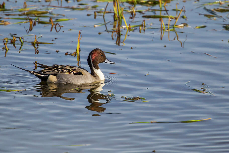 Wintering waterfowl, like northern pintail, can be seen on the water at Sheldon Lake State Park & Environmental Learning Center in northeast Houston. Photo: Kathy Adams Clark / Kathy Adams Clark/KAC Productions