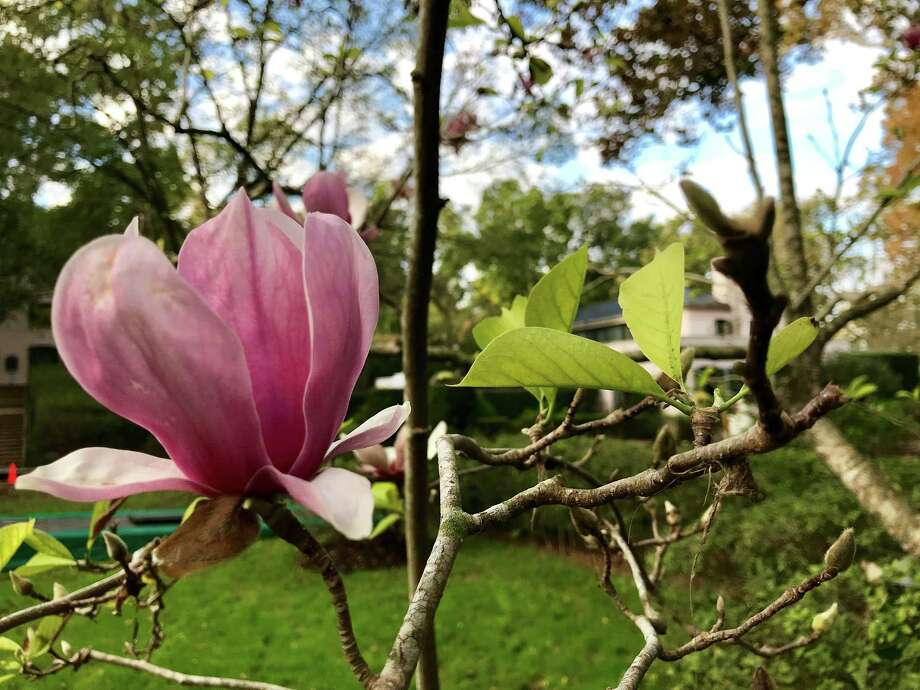 A tulip magnolia, which normally blooms in spring, is flowering this fall at Bayou Bend -- a sign of stress caused by Hurricane Harvey's flooding. Photo: Molly Glentzer