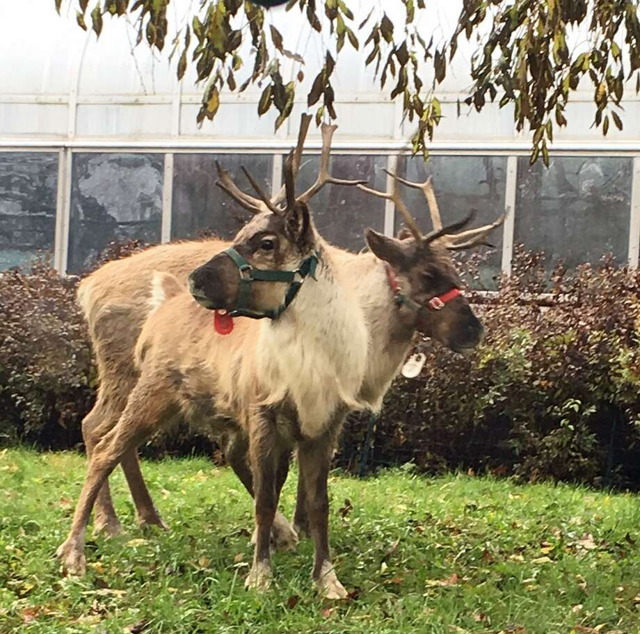Two reindeer have arrived at Connecticut's Beardsley Zoo in Bridgeport just in time for the Christmas holiday season. The reindeer, named Sam and Jacob, have are settled into their new home, a temporary exhibit near the Victorian Greenhouse. Photo: Connecticut's Beardsley Zoo Photo