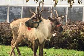 Two reindeer have arrived at Connecticut's Beardsley Zoo in Bridgeport just in time for the Christmas holiday season. The reindeer, named Sam and Jacob, have are settled into their new home, a temporary exhibit near the Victorian Greenhouse.