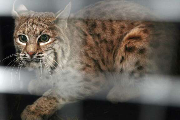 A bobcat trapped in a snare at the Billings, Mont., airport looks out of his crate before being released east of Shepherd, Mont. Fur trappers are asking a federal judge to throw out a lawsuit from wildlife advocates who want to block the export of bobcat and gray wolf pelts from the United States.