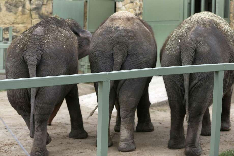 """The San Antonio Zoo's three elephants, seen Tuesday, Aug. 30, 2016, are from left: ÒKaren,"""" a 47-year-old Asian elephant who arrived Monday and joins ÒNicole,Ó a 40-year-old Asian elephant who arrived in June and long-time resident """"Lucky,"""" a 56-year-old Asian elephant.  """"Karen"""" and """"Nicole"""" are both on loan from Feld Entertainment which owns Ringling Bros. and Barnum & Bailey circus. The circus no-longer uses elephants in its traveling shows. Photo: William Luther, Staff / San Antonio Express-News / © 2016 San Antonio Express-News"""