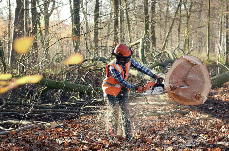 FILE - In this Nov. 28, 2016 file photo a lumberjack saws a tree at the Hambach forest near Kerpen, Germany.  Cologne's administrative court ruled Friday, Nov. 24, 2017 against a legal complaint brought by the environmental group BUND that wanted to halt the clearance of much of Hambach forest. The ancient forest near the Belgian border can be chopped down to make way for a coal strip mine. (Henning Kaiser/dpa via AP, file) Photo: Henning Kaiser, SUB / dpa