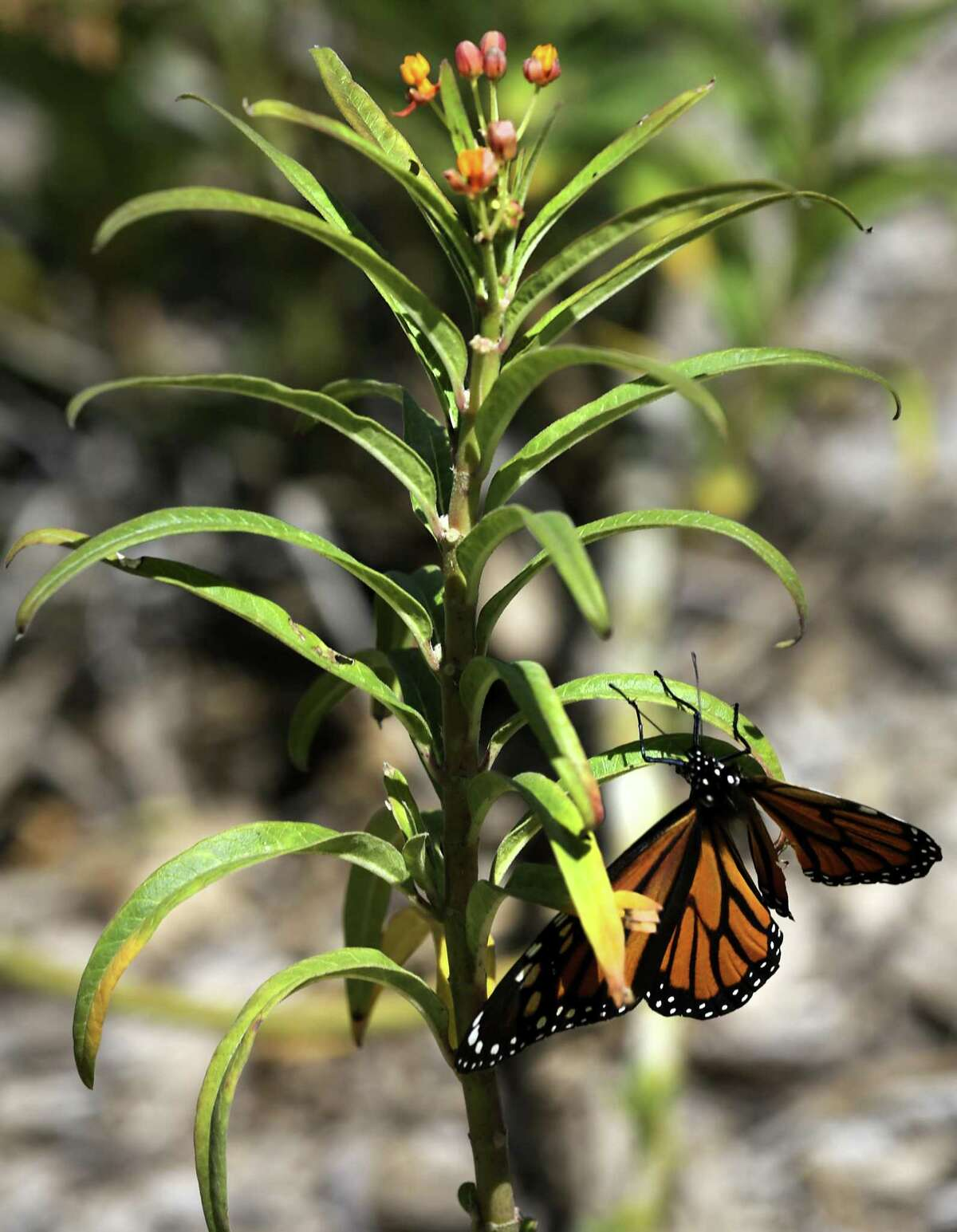 A monarch butterfly with a damaged wing at the National Butterfly Center in Mission, TX, on Thursday, Aug. 17, 2017. The butterfly couldn't manage to fly to a Milkweed plant, the only plant it lays it's eggs on. A Center volunteer gently picked it up and placed it on a Milkweed so it could lay it's eggs before it dies.