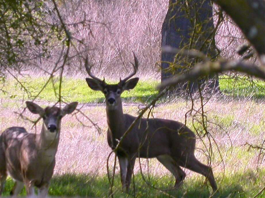 A mated pair of black-tailed deer emerge in the shadows along the American River Park near Arden Bar. The Parkway spans 32.8 miles from Folsom Lake to Discovery Park near Old Town Sacramento. Photo: Tom Stienstra, Tom Stienstra / The Chronicle