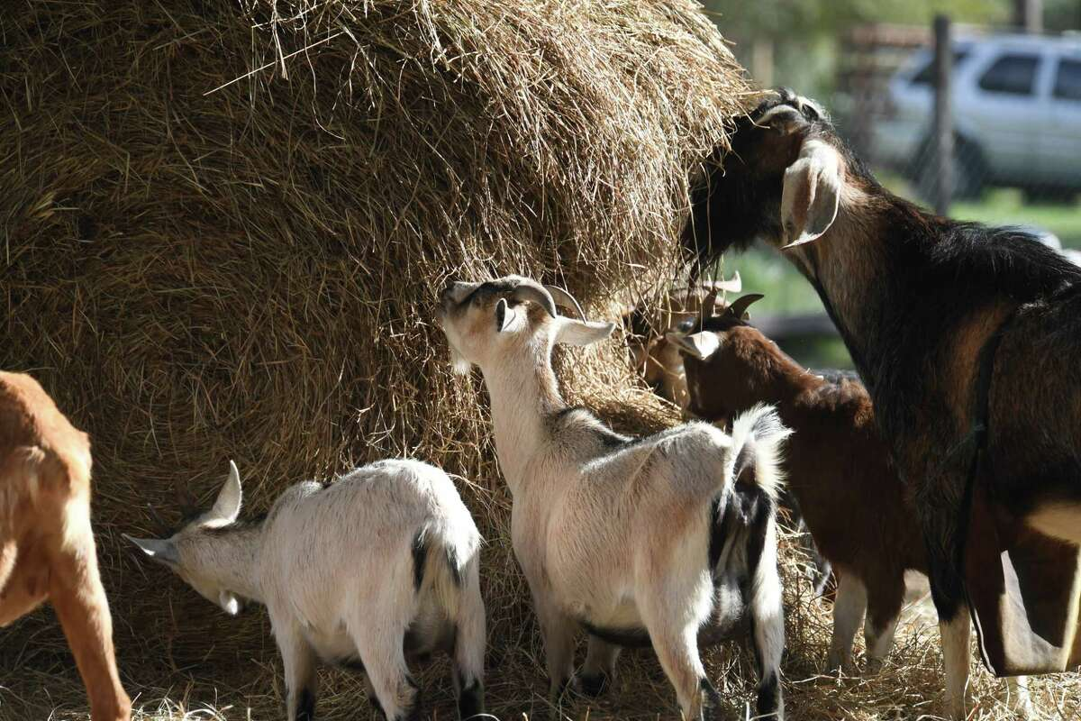 Several goats eat breakfast at Cozy Critters Farm on Monday. Rural animals continue to face issues of parasites, bacteria and trauma from Tropical Harvey. Photo taken Monday, November 21, 2017 Guiseppe Barranco/The Enterprise